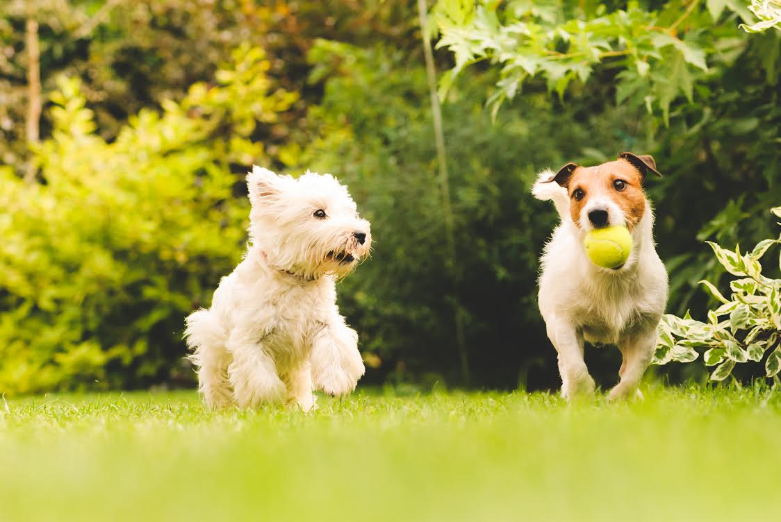 Healthy Happy Dogs Playing